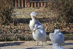 Dalmatian pelicans, or Pelecanus crispus. White Dalmatian pelicans Pelecanus crispus are preening its feathers in winter. In Zagreb Zoo, Croatia Stock Images