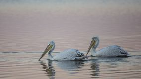 Dalmatian Pelicans Under Pale Light Stock Photo
