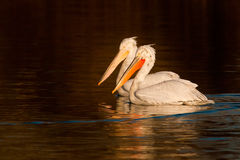Dalmatian Pelicans on Water Royalty Free Stock Image