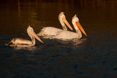 Dalmatian Pelicans on Water Royalty Free Stock Photography