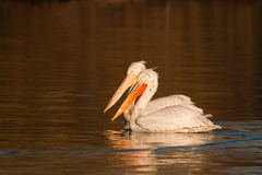 Dalmatian Pelicans on Water Royalty Free Stock Photo
