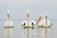 Dalmatian pelikan Fotografering för Bildbyråer