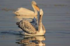 Dalmatian pelikan av sjön Kerkini Arkivfoto