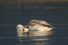 Dalmatian pelikan av sjön Kerkini Arkivfoton