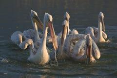 Dalmatian pelikan av sjön Kerkini Grekland Fotografering för Bildbyråer
