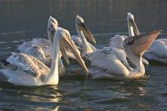 Dalmatian pelikan av sjön Kerkini Grekland Royaltyfria Foton