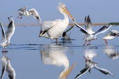 Dalmatian pelikan för otta fiskmåsar för ett flyg Arkivfoto