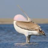 Dalmatian pelikan med den öppna halsen Arkivbilder