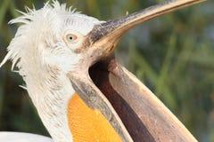 Dalmatian pelikan med den öppna näbb Arkivbild
