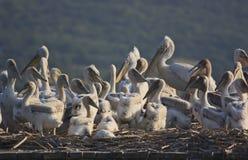 Dalmatian pelikan och chicklings på deras rede Royaltyfria Bilder