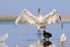 Dalmatian pelikan som ankommer Royaltyfri Bild
