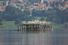 Dalmatian pelikan som bygga bo på sjön Kerkini Royaltyfri Bild