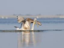 Dalmatian pelikan som flygödla Royaltyfria Foton