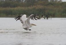Dalmatian pelikan som tar av från wate. Royaltyfria Foton