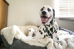 Dalmatian on Pet Bed Stock Photo