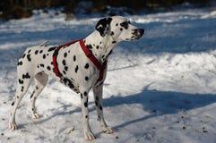 dalmatian pies zdjęcie stock