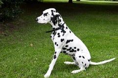 Dalmatian pies Fotografia Stock