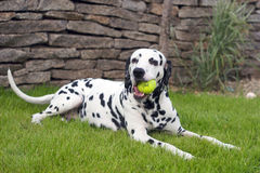 Dalmatian playing with a ball. Dalmatian is playing with a ball in the garden Royalty Free Stock Photo