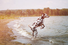 Dalmatian playing in the lake. Stock Photography