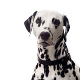 Dalmatian portrait. Stock Images