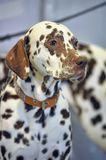 Dalmatian. Portrait of a cute dalmatian close up royalty free stock photography