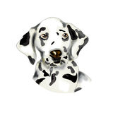 Dalmatian portrait Royalty Free Stock Photography