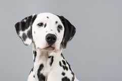 Dalmatian portrait on a grey background stock photos
