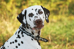 Dalmatian. Portrait of a dalmatian in the summer Royalty Free Stock Photography