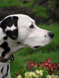 Dalmatian profil royaltyfri bild