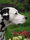 Dalmatian Profile Royalty Free Stock Image