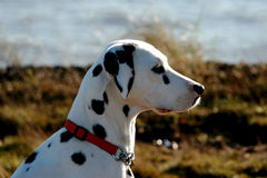 Dalmatian profile. Dalmatian in profile in sun light Royalty Free Stock Photography