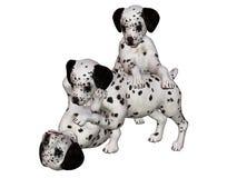 Dalmatian puppies. At play Stock Photo