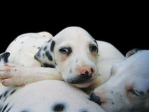Dalmatian puppies. Dalmatian small puppies on the black background royalty free stock photography