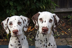 Dalmatian puppies. Portrait of two cute but naughty looking dalmatian pups in close up stock photography
