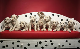 Dalmatian puppies on a bench. A litter of nine dalmatian puppies sitting on a spotted bench Stock Photo