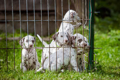 Dalmatian puppies in a cage. Dalmatian puppies outdoors in summer royalty free stock images