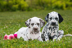 Dalmatian puppies Royalty Free Stock Photography