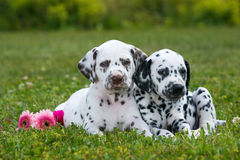 Dalmatian puppies. Lying on a meadow stock photography