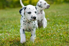 Dalmatian puppies Royalty Free Stock Photography