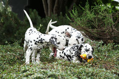 Dalmatian puppies playing in the garden. Gorgeous dalmatian puppies playing in the garden royalty free stock images