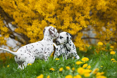 Dalmatian puppies. Playing in a meadow stock photos