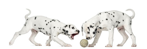 Dalmatian puppies playing together with a ball. Dalmatian puppies playing together with a tennis ball, isolated on white stock photo