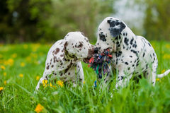 Dalmatian puppies. Playing with a toy in a meadow stock photos