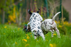 Dalmatian puppies. Playing with a toy in a meadow royalty free stock image