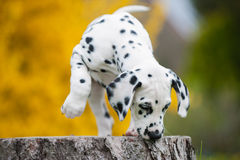Dalmatian puppies. Playing on a tree stock images