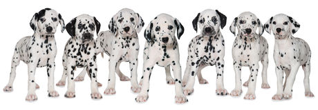 Dalmatian puppies royalty free stock photos