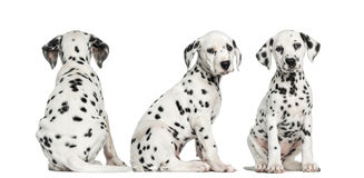 Dalmatian puppies sitting in different positions. Dalmatian puppies sitting together in different positions, isolated on white Stock Photo