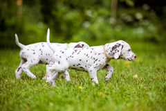 Dalmatian puppies walking on grass. Adorable dalmatian puppies outdoors in summer stock image