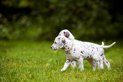 Dalmatian puppies walking on grass. Adorable dalmatian puppies outdoors in summer royalty free stock image