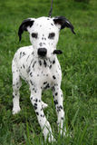 Dalmatian puppy. On rgeen grass stock photography